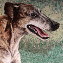 !greyhound